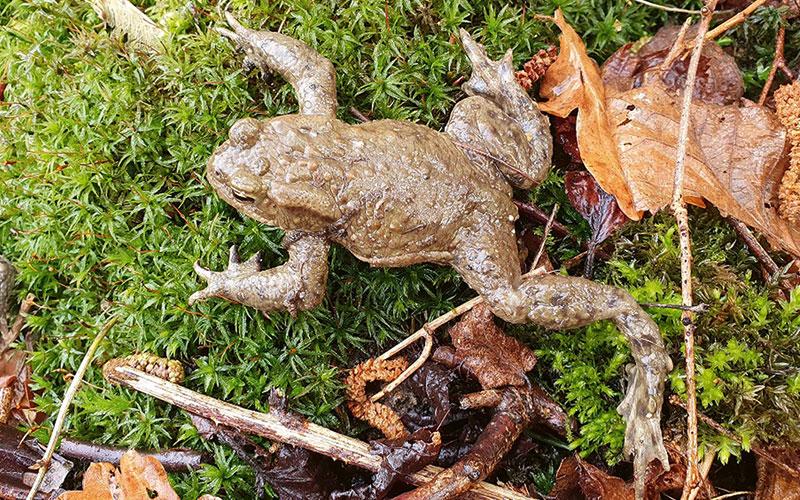 """Die Zeit der Amphibienwanderungen hat begonnen. Insbesondere Erdkröten und Grasfrösche, aber auch Kamm-, Teich- und Bergmolche gehören zu den """"Wandernden"""", die dabei die Straßen überqueren."""